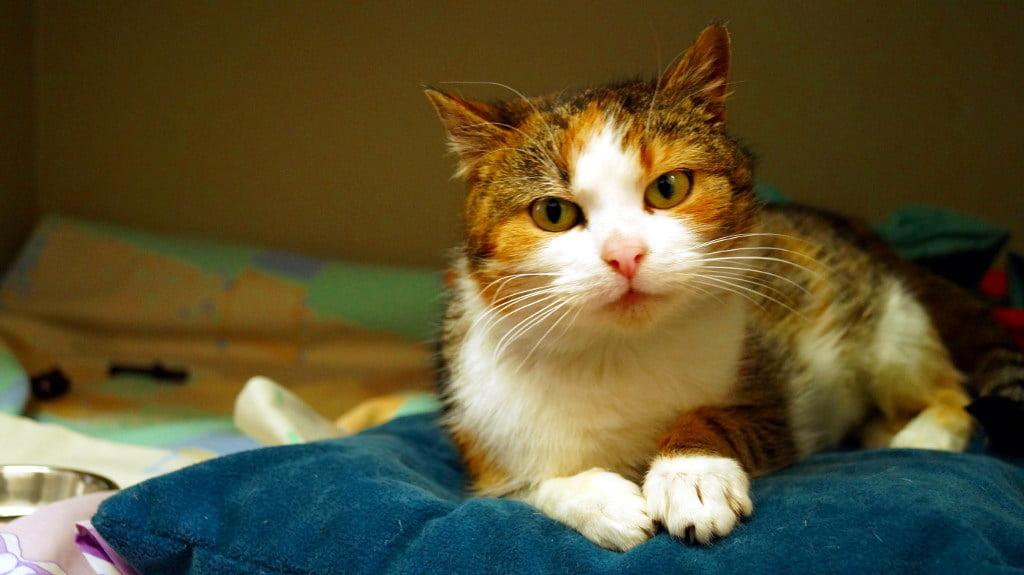 kot czekający na adopcję